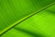 bananenblatt breite 217